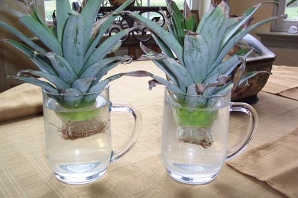 abacaxi-replantar